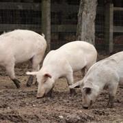 Премикс откорм для свиней фото