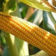Гибрид кукурузы Сплендис фото