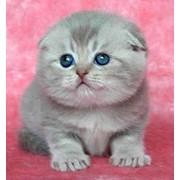 Котята вислоухой британской породы фото
