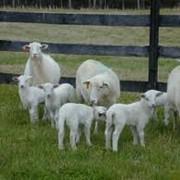 Овцы племенные фото