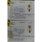 Пчеломатка. Бакфаст (Bakfast&#92-Buckfast F1). Плодные 2020 г, проверены на засев. фото