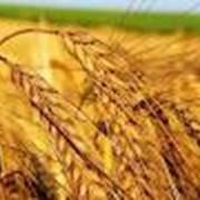 Куплю отходы зерна! сои рапса семечки фото