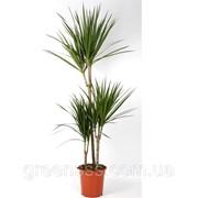 Драцена маргината -- Dracaena marginata фото