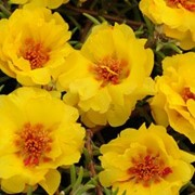 Портулак крупноцветковый Амелия Yellow фото