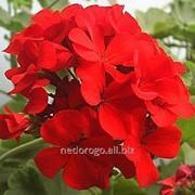 Пеларгония красная С2 фото