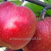 Яблоня домашняя Рубин-Стар зимний Malus domestica высота 110-140см фото