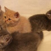 Британские короткошерстные котята, Кошки домашние фото