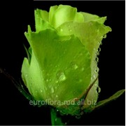 Саженцы роз Зеленного цвета фото