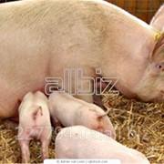 Свиньи на мясо фото