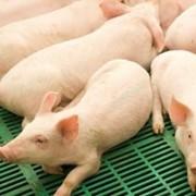 БЕКОННІ поросята на відгодівлю, молодняк свиней фото