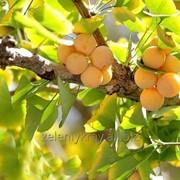 Саженцы реликтового дерева Гинко Билоба фото