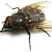 Дезинсекция, уничтожение, истребление мух, избавиться от мух, мухи фото