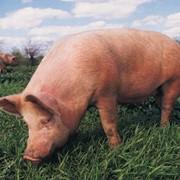 Свиньи племенные фото