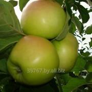 Саженцы яблонь Ананас фото