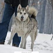 Собаки северные охотничьи фото