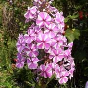 Флокс Пятнистый Phlox maculata Natasza рост 30 – 40 фото
