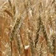 Перезвозка зерновых, доставка зерна, перевозка пшеницы фото