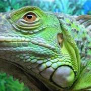Игуана зеленая фото