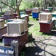 Пчёлопакеты карпатка,карника фото