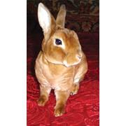 Мех кролика Рекс фото