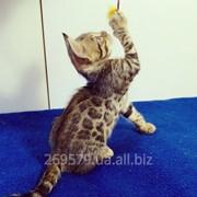 Бенгальская кошечка в разведение, питомник Royal Cats фото