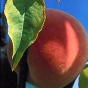 Саженцы персика позднего сорта Любимец фото