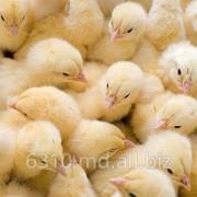 Цыплята в Молдове фото