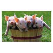 Премиксы для свиней фото