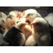 Цыплята домашние от кур несушек фото
