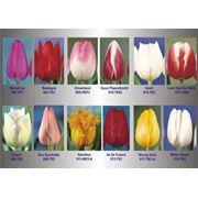 Луковицы тюльпанов гиацинтов из Голландии фото