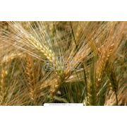 Пшеница яровая и озимая Семена СЭ фото