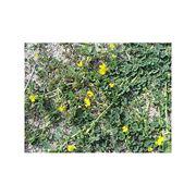 Семена люцерны (Манычская РСТ-1) фото