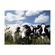Мясо крупного рогатого скота от 400 кг фото