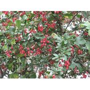 Барбарис обыкновенный, Berberis vulgaris фото
