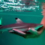 Карликовая акула фото