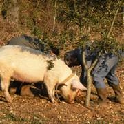 Премикс 2,5% для супоросных свиноматок фото