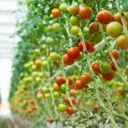 Парники промышленные для выращивания овощей. фото