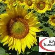 Гибриды подсолнечника П64ЛЕ11 / P64LE11 (новый) Express Sun TM RM 40 фото