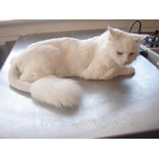 Стрижка Кошки Короткошерстные фото