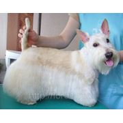 Стрижка собак - скотч-терьер фото