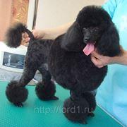 Стрижка собак - пудель фото