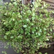 Каланхоэ Блоссфельда -- Kalanchoe leaf фото