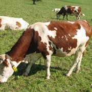 Комбикорма КК-60П для дойных коров пастбищного периода гранулированный фото