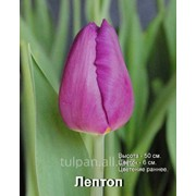 Тюльпаны Laptop к 8 марта фото
