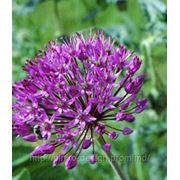ЛУК АФЛАТУНСКИЙ — Allium aflatunense фото