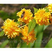 Керия японская — Kerria japonica Pleniflora фото