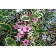 Вейгела цветущая Nana Purpurea (Weigela florida) фото