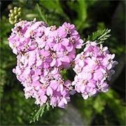 Тысячелистник обыкновенный — Achillea millefolium L. фото