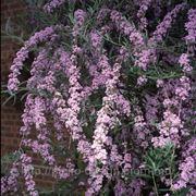 Будлея очереднолистная — Buddleia alternifolia фото