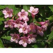 Вейгела цветущая — Weigela florida фото